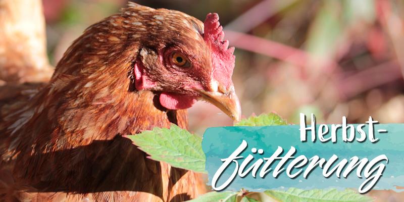 Hühnerfütterung im Herbst